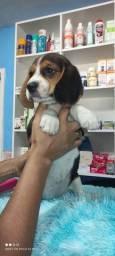 Beagle 13 polegadas vacinados Pedigree cartão até 10 x sem juros