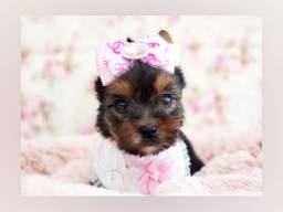 Filhote magnífica de yorkshire mini fêmea! #PET SHOP NAMU ROYAL#