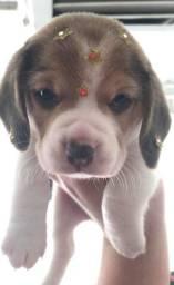 Beagle - lindos filhotes disponiveis!!!!