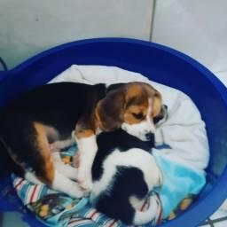 Título do anúncio: Filhotes de beagle!