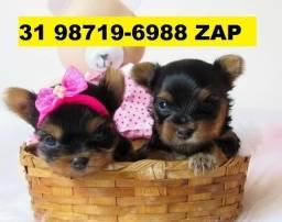 Canil Líder Cães Belos Filhotes BH Yorkshire Maltês Poodle Lhasa Shihtzu