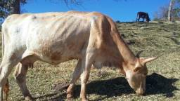 Vaca parida