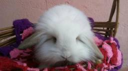 Coelhinhos Mini Fuzzy Lop