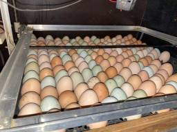 Ovos galado GLC pente 30 ovos 50 reias
