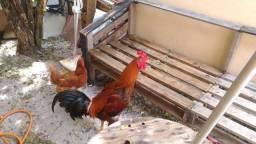 Galo indio e galinha