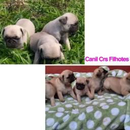 Pug com pedigree e microchip