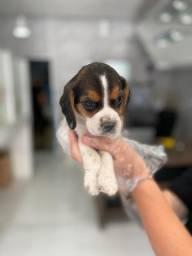 Beagle fofuraas