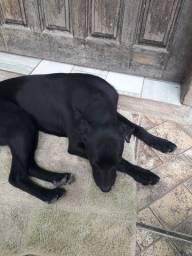 Doação cachorra Ladradora fêmea filhote