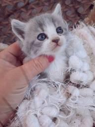 Persa cinza olhos azul machinho