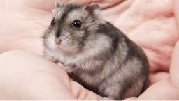 Gaiola + casal hamster chinês