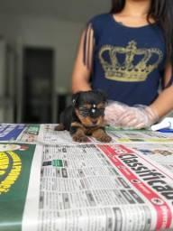 Yorkshire Terrier com garantia de saúde, até 12x sem juros! *