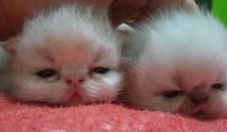 Bebês persa