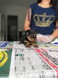 Yorkshire Terrier machos e fêmeas a pronta entrega *