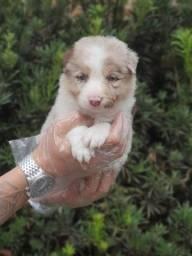 Border Collie merle filhote puro e legitimo