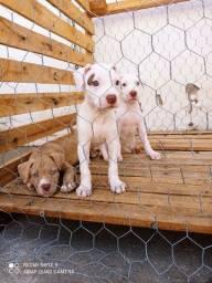 Filhote de cachorro da raça Pit bull