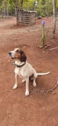 Vende-Se Cadela Foxhound Americano.