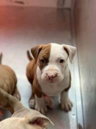 Pitbull seu cão de guarda e também para companhia!!