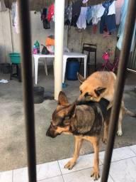 Cachorro Filhote de pastor alemão com 29 dias de vida