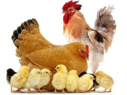 galinhas caipira aves pintinhos patos pouso alto ver entregas