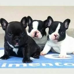 Bulldog Francês pirata/tigrado/fulvo/branco a pronta entrega *