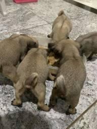 Filhotes de pug FÊMEA A VENDA