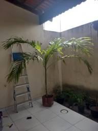 Vendo Palmeira linda para seu jardim