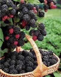Amora Fruta