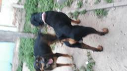Filhotes de Rotweiler com Labradora