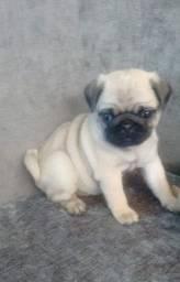 Macho de Pug com pedigree CBKC a pronta entrega