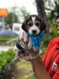 Beagle filhotes a pronta entrega