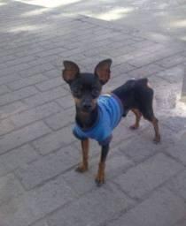 Procura cachorro Pinscher pra cruzar número 0