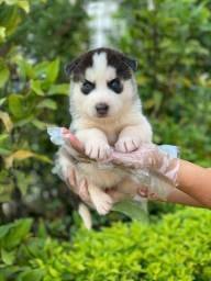 Husky Siberiano com pedigree e super garantias de saúde.Ligue e garanta ja