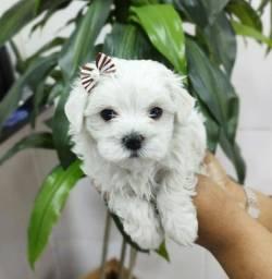 Maltês lindos filhotes disponível