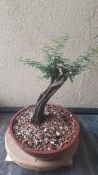 Pré Bonsai de Calliandra Depauperata 20cm