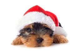 Yorkshire terrier presentão de Natal !