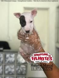 Bull Terrier Inglês, a maior rede de vendas do Brasil, totais garantias