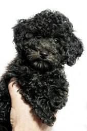 Filhote macho poodle preto