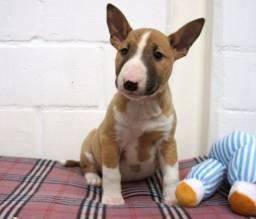 Bull Terrier - Lindos Filhotes Macho e Fêmea