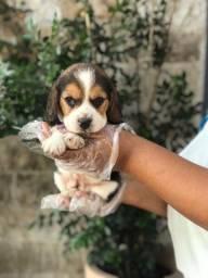 Beagle vacinado