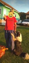 Procuro cachorro da raça Border Collie para adotar ou comprar mais barato