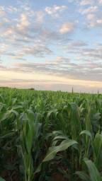 Vendo 8 hectares de milho