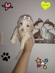 Poodle Fêmea Toyzinha