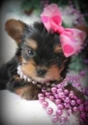 Yorkshire Terrier micro fêmea, entregamos na sua cidade!