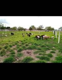 Vende se um rebanho de ovelhas Dorper santa Inês