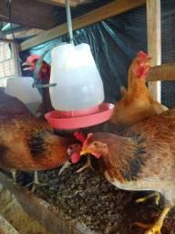 Galinhas pondo ovos