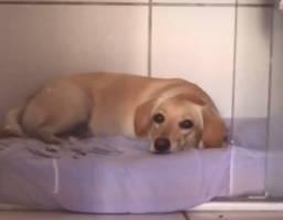 Doação de cadela castrada