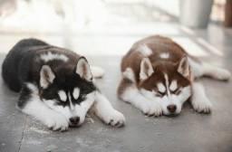 Belissimos Filhotes de Husky Siberiano
