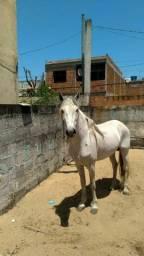 Cavalo manso registrado macha batida inteiro