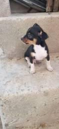 Vendo um cachorro pinscher 1 puro já vacinado 50 dias de nascido moro em Feu Rosa