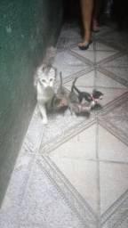 Doa-se filhotes de uma gata da raça Himalaia